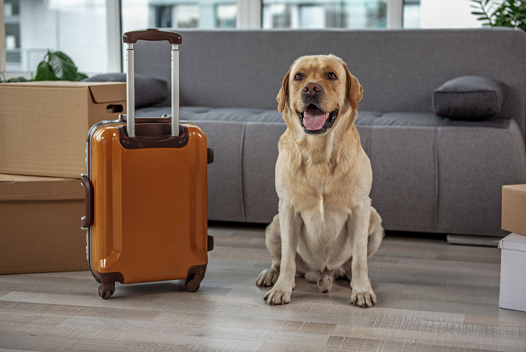 London-and-Essex-Pet-export-Labrador-with-suitcase