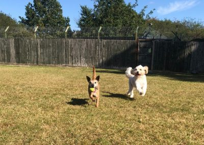 Dogs playing 2