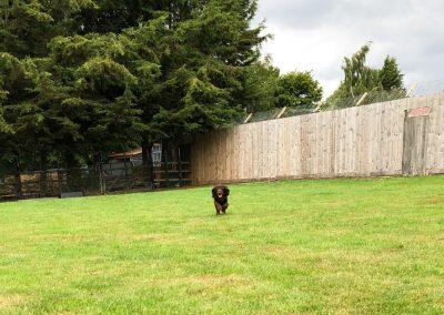 Field Spaniel 2